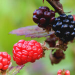 Berries, Britches and Chiggers